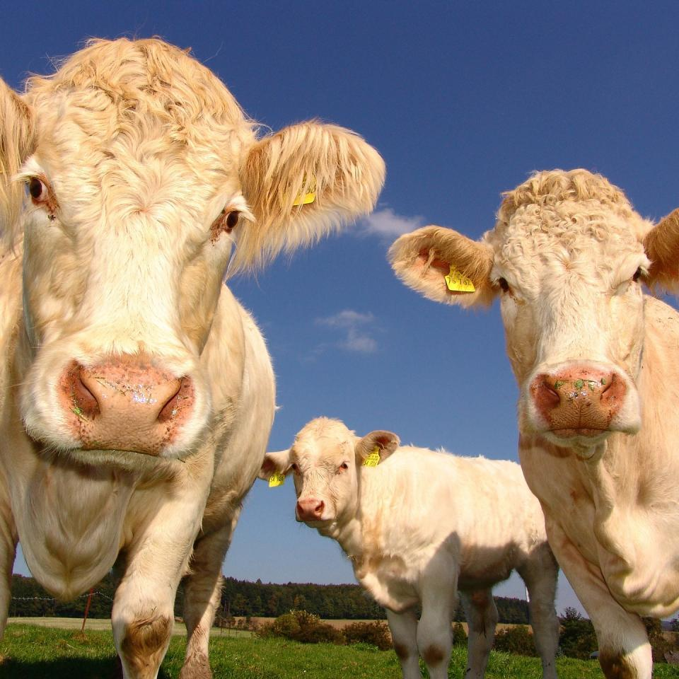 EU Common Agricultural Policy, Cows